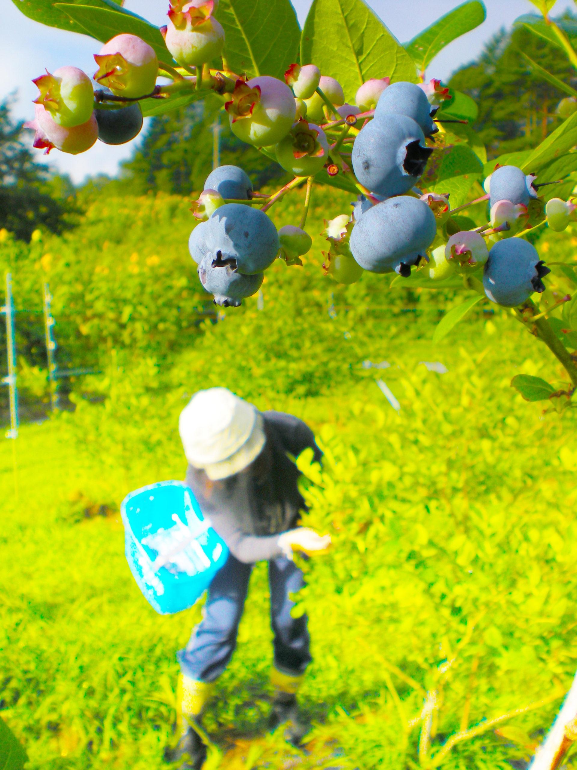 自社農園:ブルーベリー収穫の様子